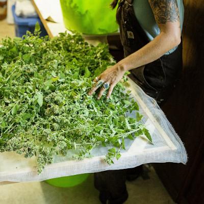 Medicinal Bulk Herbs on Drying Rack